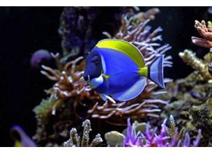 http://www.nautilusdesign.ru/100-thickbox_default/-lat-acanthurus-leucosternon-eng-powder-blue-surgeon.jpg