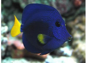 http://www.nautilusdesign.ru/101-thickbox_default/-lat-zebrasoma-xanthurum-eng-yellow-tail-purple-tang.jpg