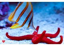 Бабочка пинцет-хелмон (Носатый хелмон)