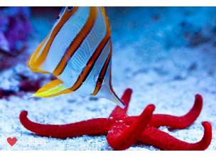 http://www.nautilusdesign.ru/102-thickbox_default/-lat-chelmon-rostratus-eng-coperband-butterfly.jpg