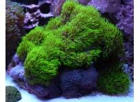 Бреариум зеленый