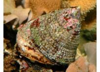 Улитка-водорослеед нилотикус