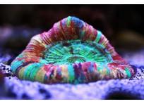 Открытый коралл-мозговик