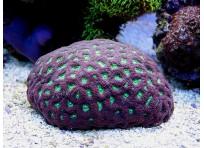 Лунные кораллы