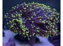 Факельный коралл