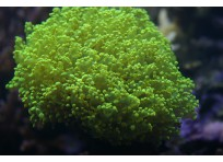 Коралл лягушачья икра