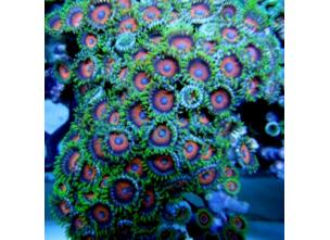 http://www.nautilusdesign.ru/75-thickbox_default/-lat-zoanthids-coral-eng-zoanthus-red-eyes.jpg