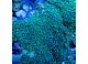 Зоантус зеленый