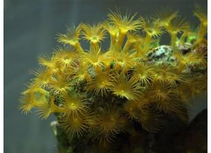 http://www.nautilusdesign.ru/78-thickbox_default/-lat-parazoanthus-sp-eng-bright-yellow.jpg