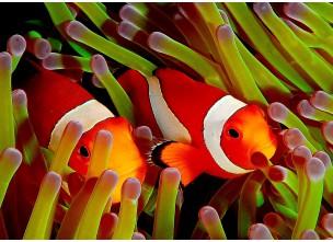 http://www.nautilusdesign.ru/79-thickbox_default/-lat-amphiprion-ocellaris-eng-ocellaris-clownfish.jpg