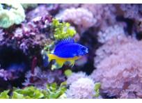 Хризиптера желто-голубая