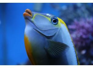 http://www.nautilusdesign.ru/97-thickbox_default/-lat-naso-lituratus-eng-naso-lipstick-tang-orangespine-unicornfish.jpg