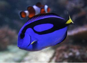 http://www.nautilusdesign.ru/98-thickbox_default/-lat-paracanthurus-hepatus-eng-blue-tang-palette-surgeonfish.jpg